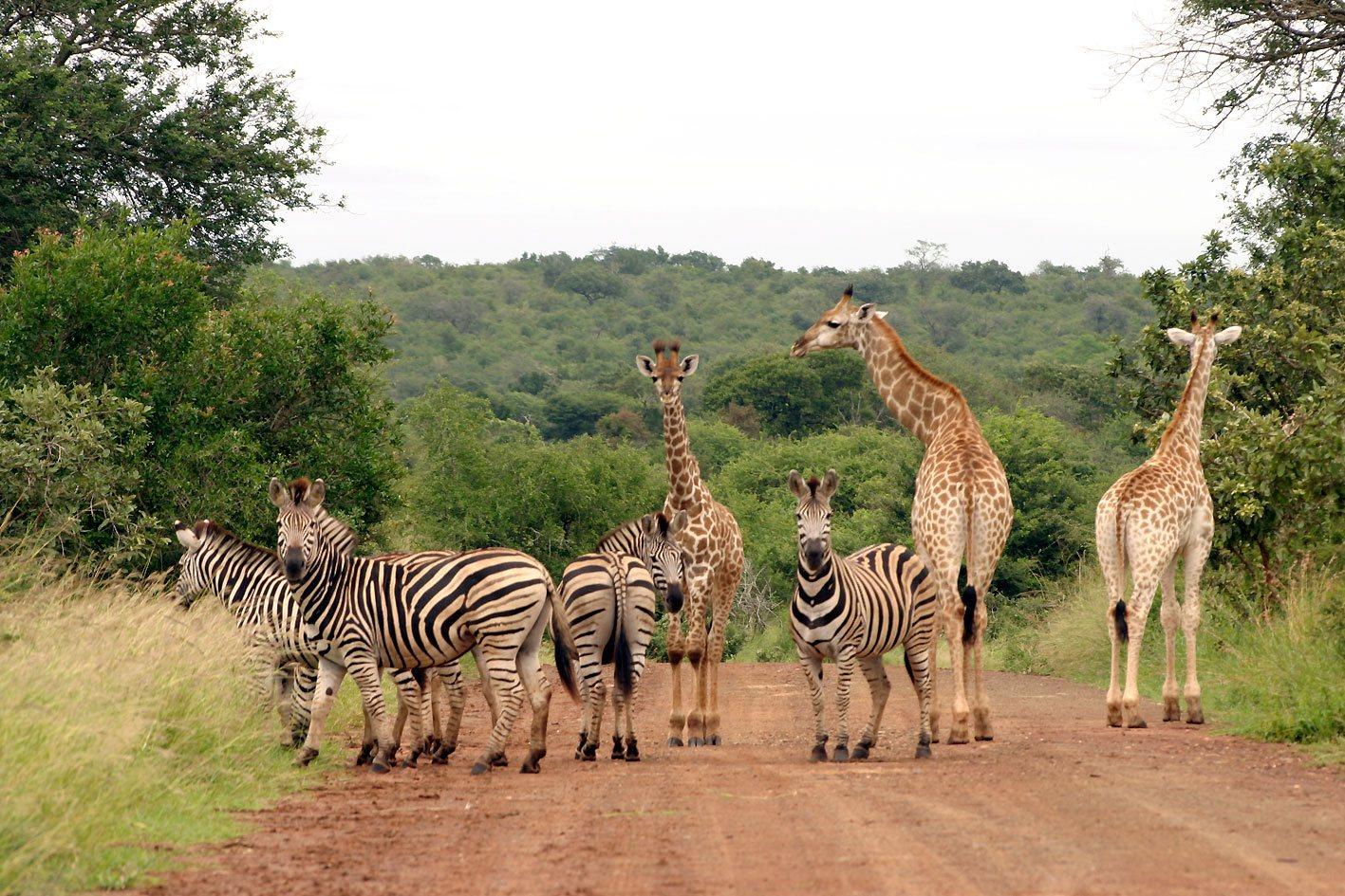 Zebres-er-girafes