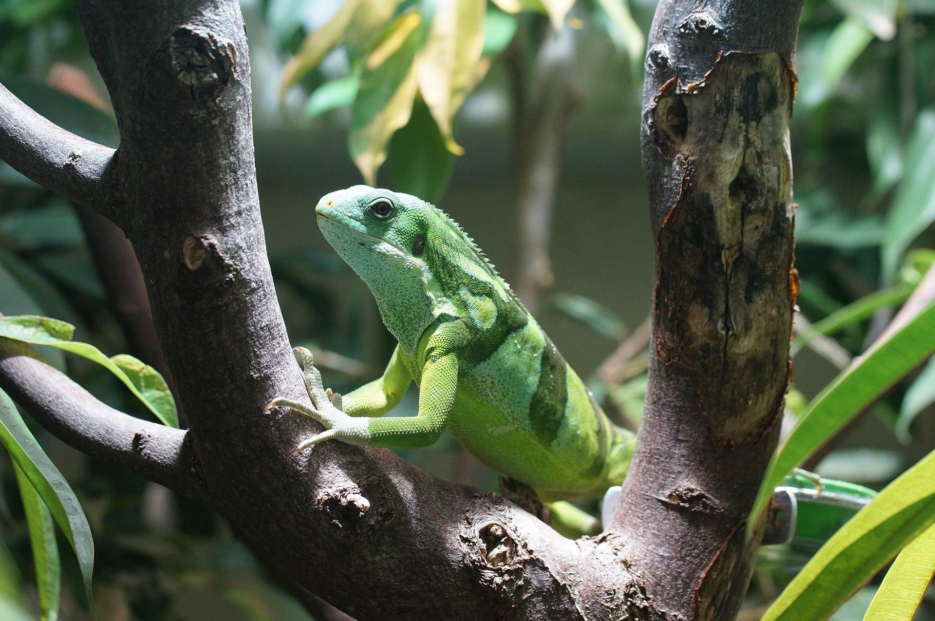 banded-fiji-iguana-885596_1920