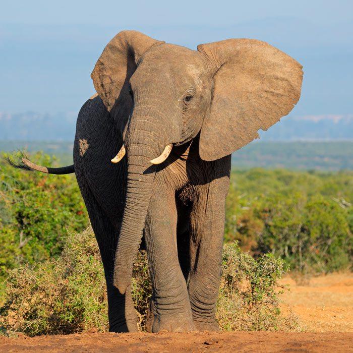 elephant-zambie