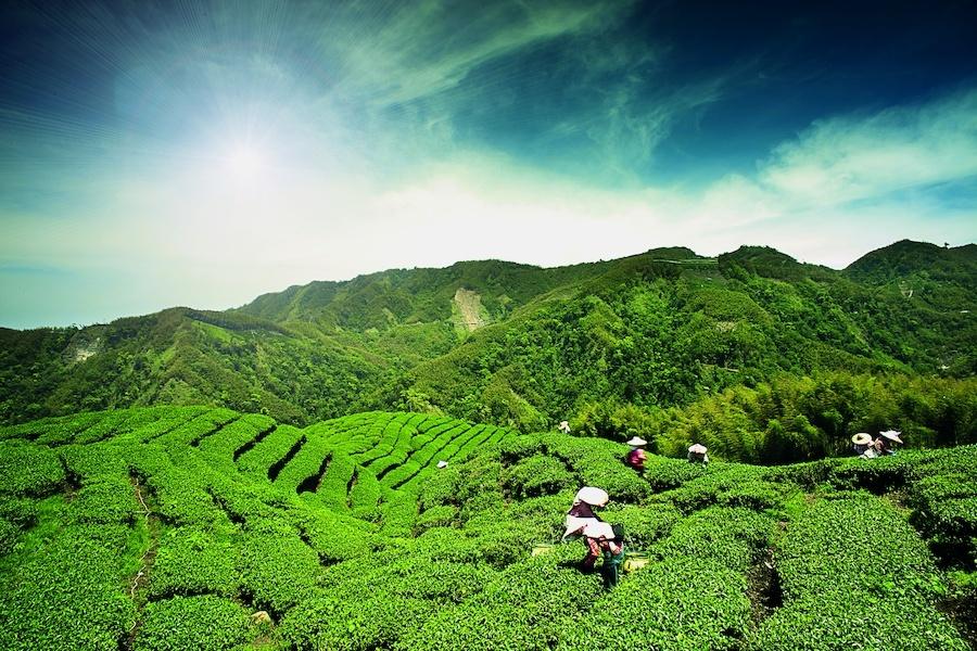 taiwan-ba-gua-tea-garden-taiwan-53288