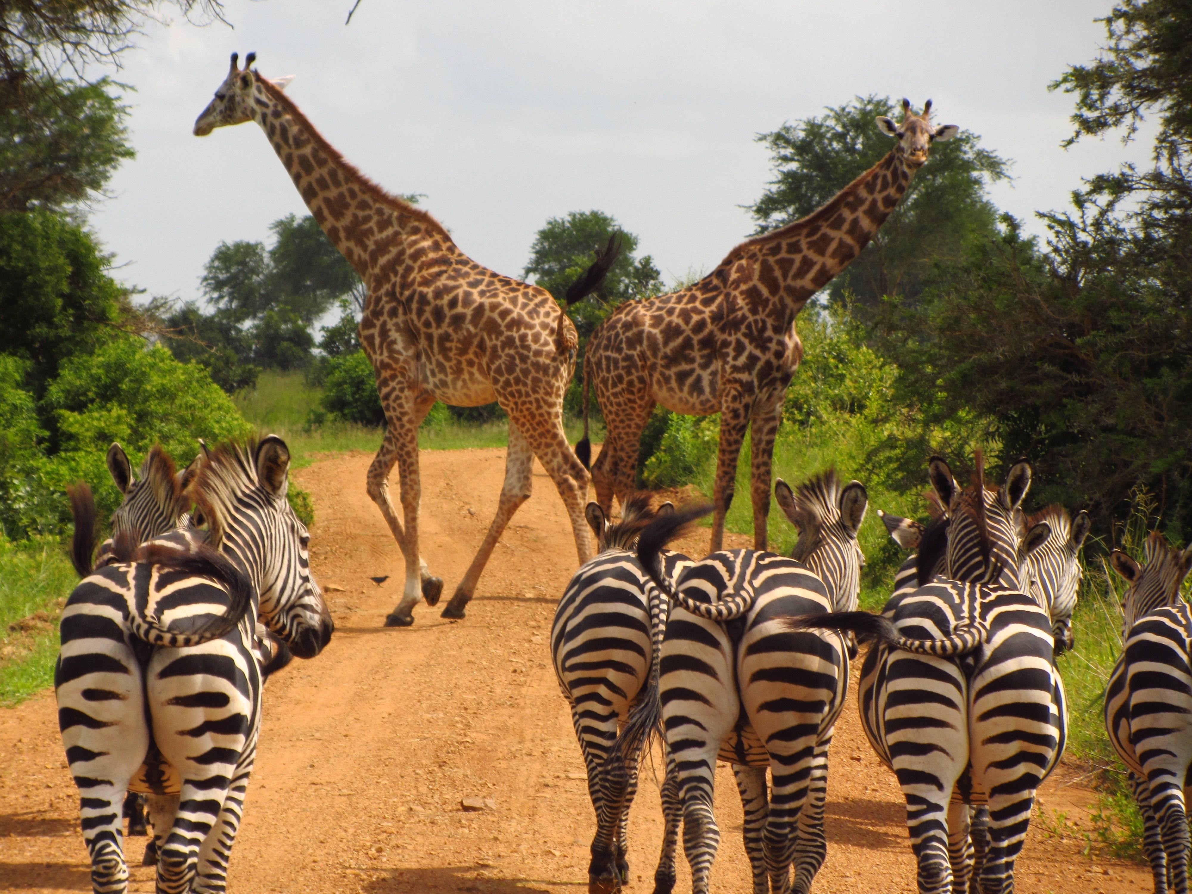 zebras-765885